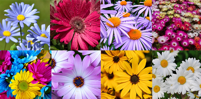 daisies coloring